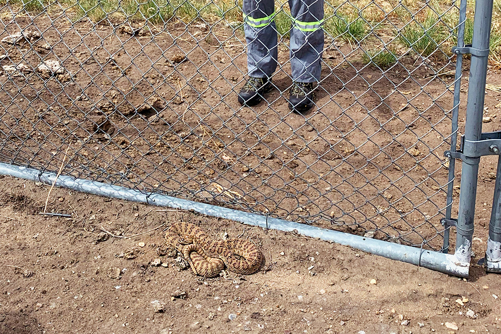 The Medicine Hat area is home to the prairie rattle snake and the bullsnake.